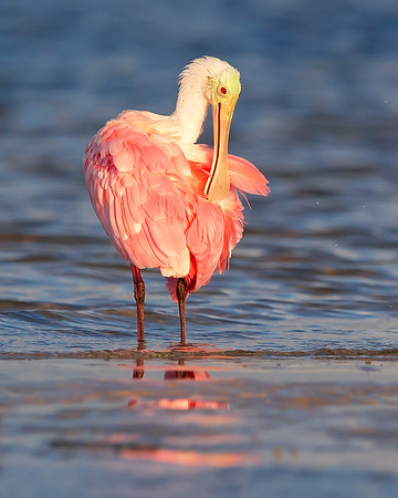 This photograph of a preening Rosette Spoonbill  was captured in Ding Darling National Wildlife Refuge, Florida (8/14). This photograph is protected by the U.S. Copyright Laws and shall not to be downloaded or reproduced by any means without the formal written permission of Ken Conger Photography.