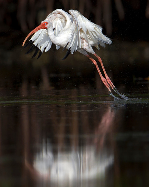 This White Ibis photograph was captured in the Bunche Preserve, Florida (9/12).  This photograph is protected by the U.S. Copyright Laws and shall not to be downloaded or reproduced by any means without the formal written permission of Ken Conger Photography.