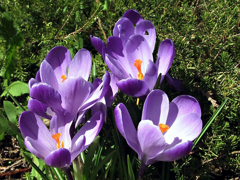 Backyard Crocus      <br /> <br /> --- 5011_CRW_02B ---