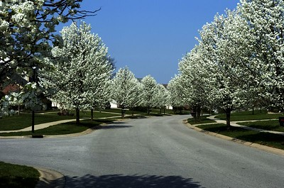 Spring 2005 - trees in bloom
