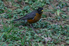 One of the many robins in the yard, probably looking for one of the many earthworms in the yard