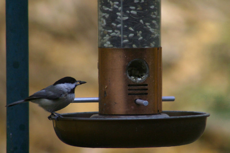 A black-capped chickadee grabs a sunflower seed from the tube feeder