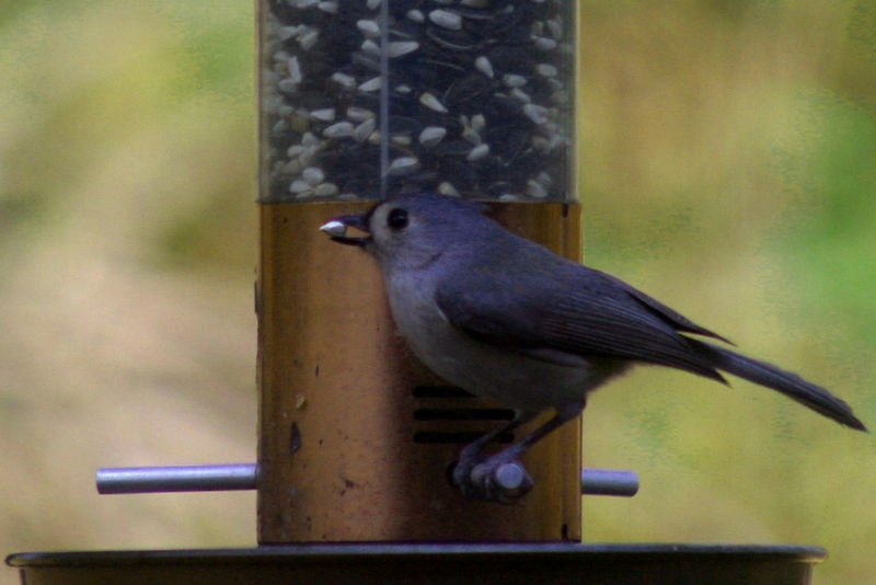 A tufted titmouse grabs a safflower seed from the tube feeder