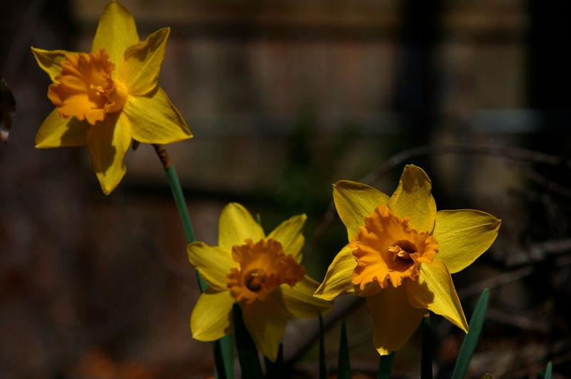 A few daffodils in the backyard