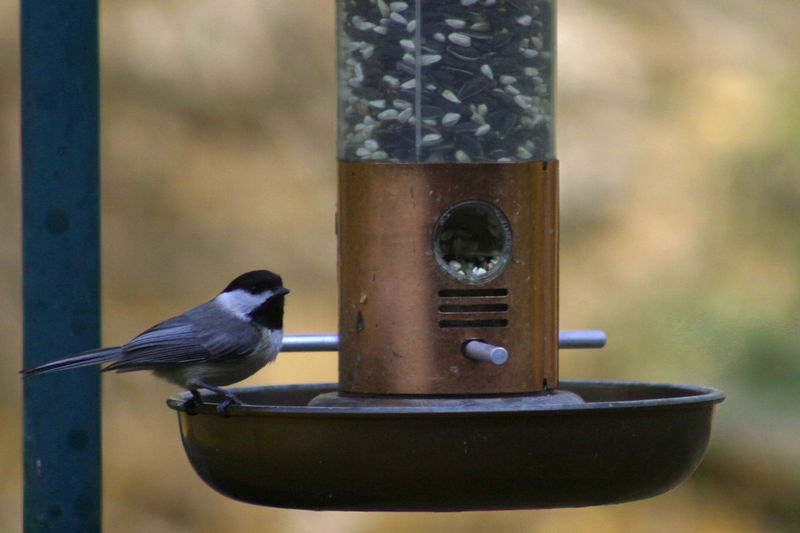 The chickadee comes back for some more food