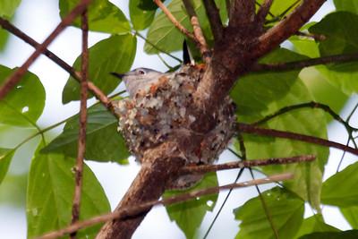 Blue-gray Gnatcatcher on nest at Radnor Lake, TN (04-26-2009)