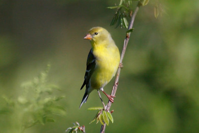 American Goldfinch female at Bell's Bend Park, TN (04-25-2009)