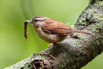 Carolina Wren juvenile (1) at Radnor Lake (05-16-2009)