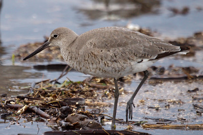 Western Willet (3) at Old Hickory Lake (05-09-2009)