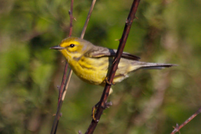 Prairie Warbler (1) at Bell's Bend Park, TN (04-25-2009)