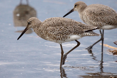 Western Willet (1) at Old Hickory Lake (05-09-2009)