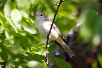 Warbling Vireo (1) at Old Hickory Lake (05-09-2009)