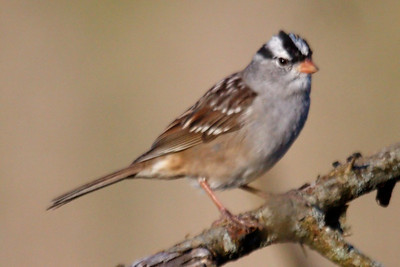White-crowned Sparrow leucophrys adult (2) at Bell's Bend Park, TN (04-25-2009)