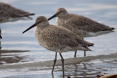 Western Willet (12) at Old Hickory Lake (05-09-2009)