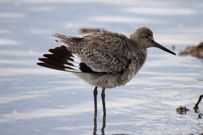 Western Willet (11) at Old Hickory Lake (05-09-2009)