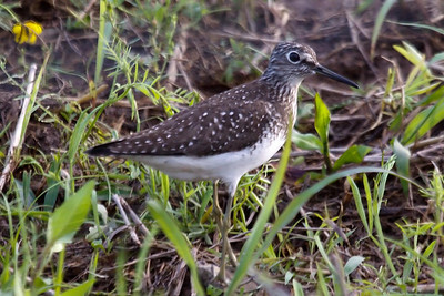 Solitary Sandpiper alternate at Old Hickory Lake (05-09-2009)