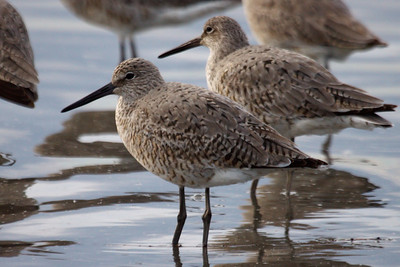 Western Willet (4) at Old Hickory Lake (05-09-2009)
