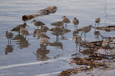 Western Willets at Old Hickory Lake (05-09-2009)
