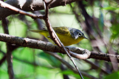 Nashville Warbler at Radnor Lake, TN (04-26-2009)