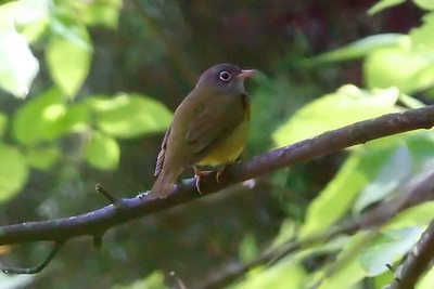 Connecticut Warbler male at Radnor Lake (05-16-2009)