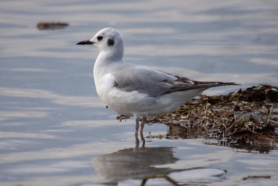 Bonaparte's Gull first cycle at Old Hickory Lake (05-09-2009)