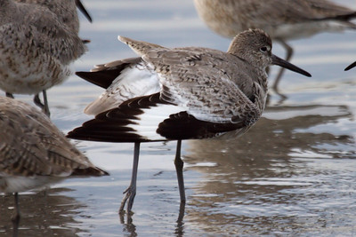 Western Willet (10) at Old Hickory Lake (05-09-2009)