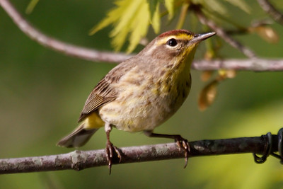 Palm Warbler palmarum at Radnor Lake, TN (04-26-2009)