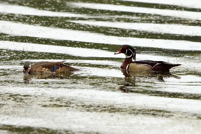 Wood Duck male and female at Radnor Lake (05-16-2009)