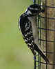 Downy woodpecker feeding.