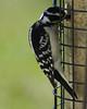 Downy woodpecker feeding.