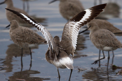 Western Willet (6) at Old Hickory Lake (05-09-2009)