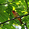 Summer Tanager at Ledges Park