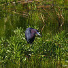 Little Blue Heron Boone Co