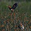 Male and Female Least Bittern at Sanke Creek marsh Grfeene Co