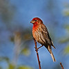 House Finch in my Yard