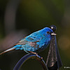 Indigo Bunting in my yard