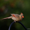 Female Cardinal in my yard