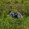 Rare Little Blue Heron Boone Co testing his wings.