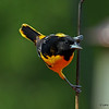 Baltimore Oriole in my yard Boone Co