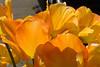 20100412_Tulips 2010_0196