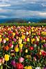 20100412_Tulips 2010_0305