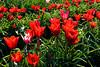 20100412_Tulips 2010_0147