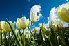 20100412_Tulips 2010_0102