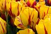 20100412_Tulips 2010_0284