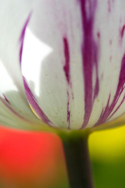 20100415_Tulips 2010 2_0678