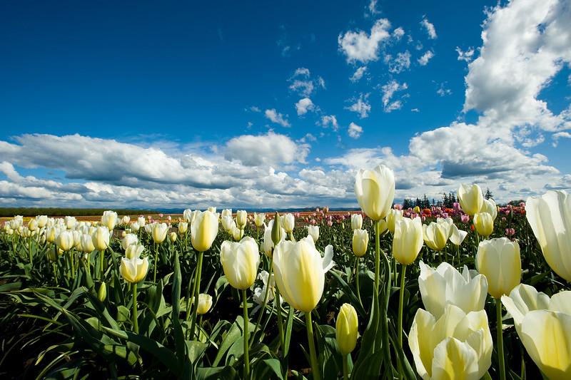 20100412_Tulips 2010_0111