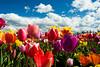20100412_Tulips 2010_0056
