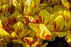 20100412_Tulips 2010_0281