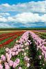 20100412_Tulips 2010_0157