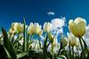 20100412_Tulips 2010_0098